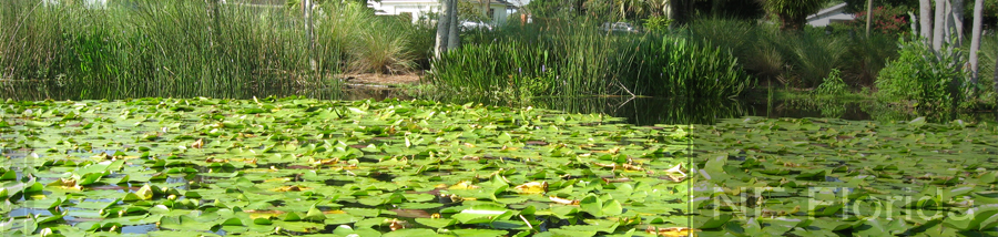 Image of lilypads sitting on water